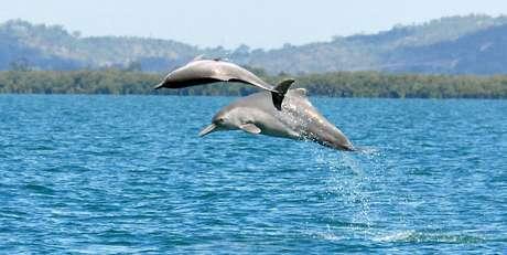Os cientistas conseguiram identificar uma nova espécie de golfinho-corcunda que é encontrada frequentemente nas águas do norte da Austrália