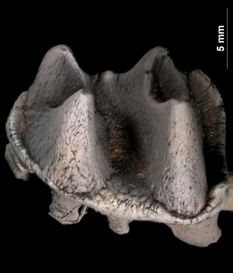 Molar do ornitorrinco gigante foi escavado na Austrália