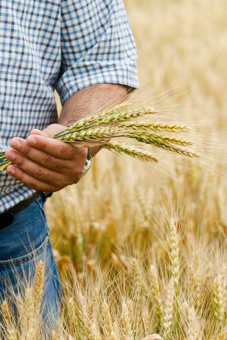 Neste ano, a safra do trigo no Rio Grande do Sul deve chegar a 2,6 milhões de toneladas. Excluído o percentual que será adquirido pela indústria gaúcha, restam 1,6 milhão para exportação
