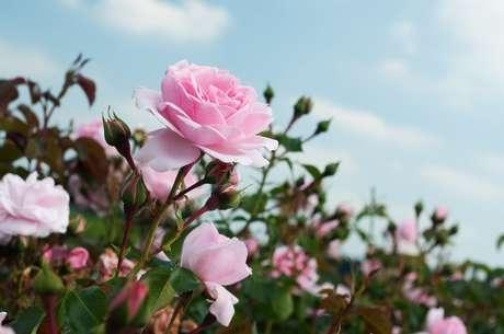 A balança comercial do setor de flores brasileiro teve saldo negativo no primeiro semestre de 2013 de US$ 13,1 milhões. As rosas são compradas principalmente da Colômbia