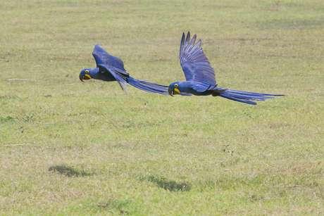 <p>Nos anos 1980 as araras azuis estavam ameaçadas de extinção por conta do tráfico e queimadas</p>