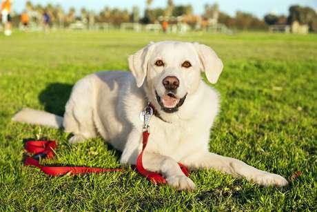 O Labrador Retriever é a sétima raça mais inteligente
