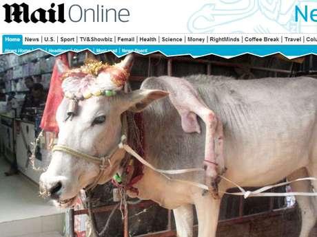 Indianos acreditam que vaca de cinco pernas traz sorte