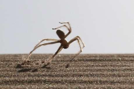 <p>Aranha da espécie Cebrennus rechenbergi faz suas rotações em terrenos planos, declives e até mesmo em aclives</p>
