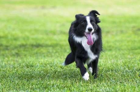 Veja 4 Das Melhores Raças De Cães De Pastoreio