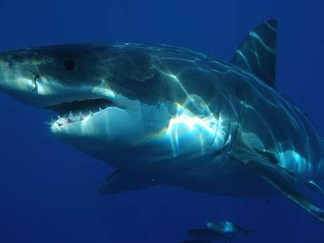 <p>Tubarão branco é, até hoje, o peixe predador de maiores dimensões conhecido pelos pesquisadores.</p>