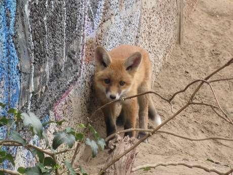 <p>Filhotes de raposas, nascidos em Berlim, conseguem viver melhor no meio urbano</p>