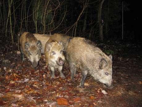 <p>Ao cair da noite, javalis saem à procura de alimento</p>