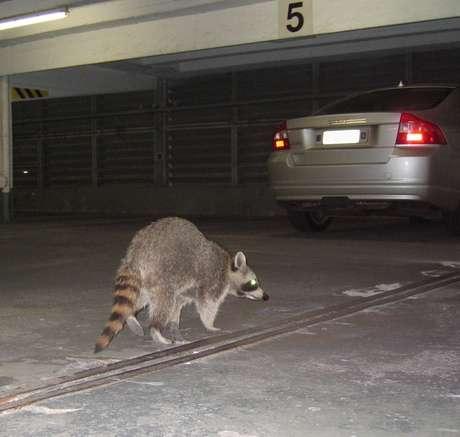 <p>Serviço telefônico atende emergências com animais selvagens, como a remoção de guaxinins de garagens</p>