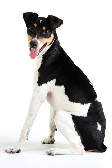 <p>Terrier brasileiro</p>