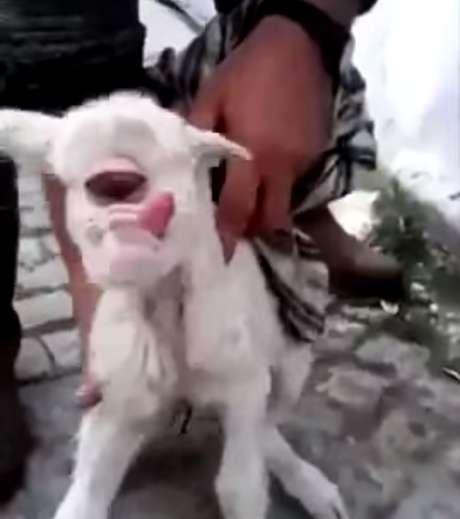 Ovelha nasce com apenas um olho gigante na Turquia