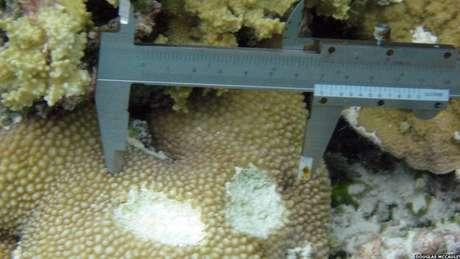 <p>O detalhe mostra a mordida de um peixe-papagaio gigante sobre um coral</p><p></p>