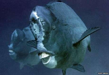 <p>O Bolbometopon muricatum chega a medir 1,2m e pode pesar até 45kg</p>