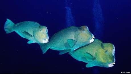 <p>Os peixes-papagaio gigantes se alimentam rotineiramente de corais vivos no Pacífico</p><p></p>