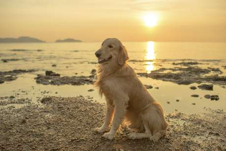 <p>Golden retriever </p>
