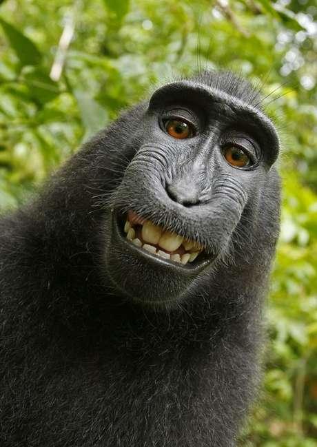 <p>Macaco da Indonésia roubou a câmera do fotógrafo David Slater e fez diversas selfies</p>