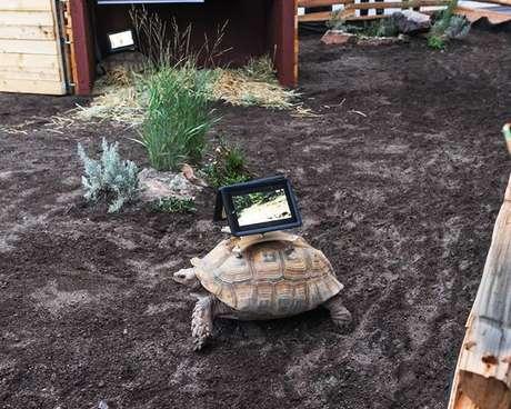 <p>Na exposição, três tartarugas ainda caminham em um espaço fechado e filmam com os iPads</p>