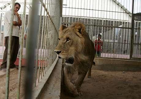 Um dos três leões sobreviventes do zoológico em Gaza - felinos estão doentes e famintos