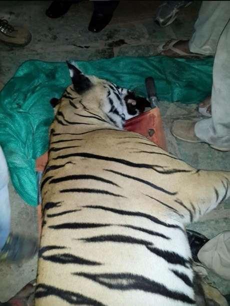 O animal foi sacrificado após ter matado sete pessoas na Índia