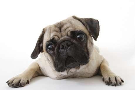 Focinho achatado, característica dos pugs, pode causar complicações na saúde do pet