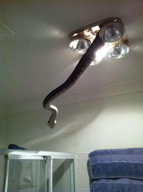 <p>A píton foi capturada quando saía do forro do lustre do banheiro, que estava destampado</p>