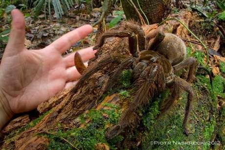 A aranha-golias chega a ter mais de 30 centímetros e tem comportamento violento
