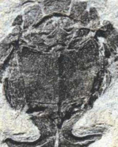 Fósseis do Microbrachius dicki são comuns, mas durante anos a vida sexual do peixe passou despercebida pelos cientistas por décadas