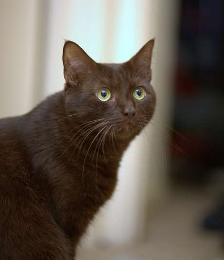 <p>Os gatos são os hospedeiros favoritos do<em>Toxoplasma gondii</em></p>