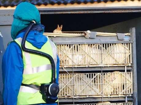 La gripe aviar en Europa posiblemente afecte a otras poblaciones de aves y podría infectar a algunas personas, pero es muy poco probable que se produzca una transmisión a gran escala entre la población humana, dijo el martes la Organización Mundial de la Salud. En la imagen, responsables sanitarios se llevan cajas llenas de patos en una granja en Nafferton, Inglaterra, el 18 de noviembre de 2014