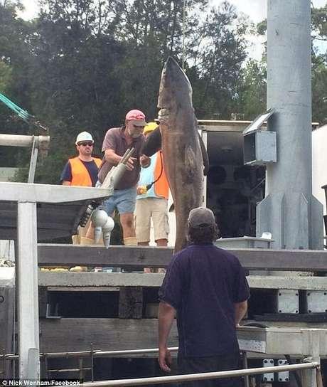 O enorme tubarão foi pendurado morto no barco dos pescadores por volta das 11h30 da manhã locais na praia de Bondi