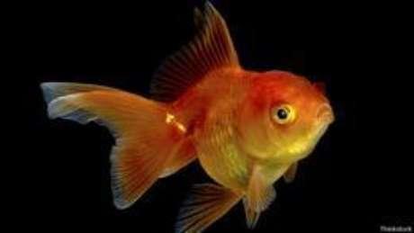 <p>Peixinho dourado sofria de constipação intestinal e teve de passar por cirurgia (foto ilustrativa)</p>