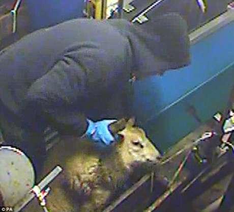 Funcionários foram flagrados violentando animais em abatedouro halal