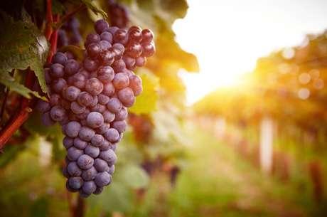O resveratrol, um polifenol que pode ser encontrado principalmente nas sementes de uvas, na película das uvas pretas e no vinho tinto