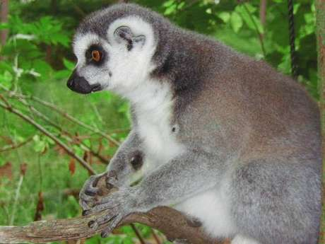 <p>Lêmures são mamíferos encontrados na ilha de Madagascar bastante ameaçados</p>