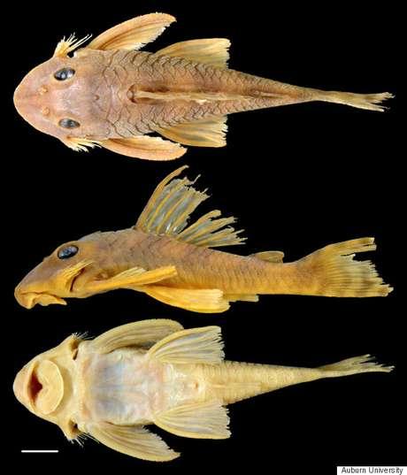 Peckoltia greedoi, ou simplesmente Greedo, é a nova espécie de peixe catalogada por cientistas do Museu de História Natural da Universidade de Auburn