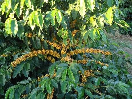 Com isso, o café produzido no local ganhou novos mercados, como o Japão