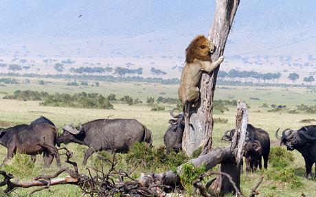 Imagem rara tirada no parque de reserva de Maasai Mara, no Quênia: leão escala uma árvore alta para fugir de uma manada