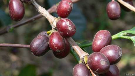 Café pronto para a colheita; cultivo de variedade mais popular está ameaçado por mudanças climáticas