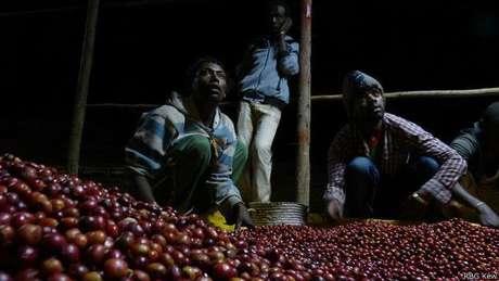 Agricultores separam os frutos; este processo contínuo ocorre de dia ou de noite