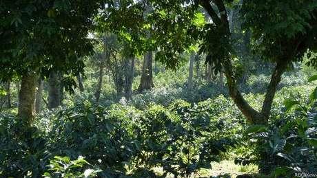 Cultivo de café na Etiópia, onde surgiu a popular espécie arábica