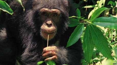 Pesquisa avaliou, entre outras coisas, se chimpanzés preferiam comida cozida à crua