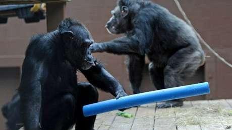 Além de não controlar fogo, chimpanzés também não teriam habilidades sociais para cozinhar