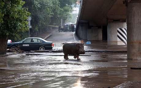 Hipopótamo caminha no centro da capital da Geórgia