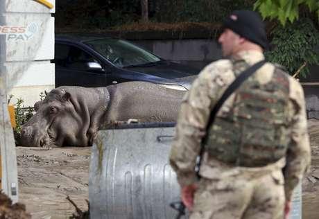 Hipopótamo cai após levar dardo de tranquilizante