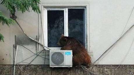 Urso sobe em ar-condicionado após fugir de zoológico