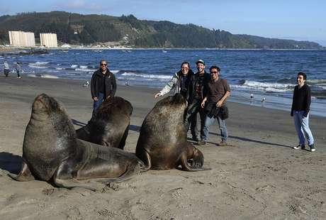 Experiência única da equipe do Terra no litoral sul do Chile: nunca ninguém ali tinha visto um leão marinho solto, na natureza. Quanto mais vários