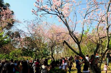 Evento na zona leste de São Paulo comemora a florada da árvore símbolo do Japão