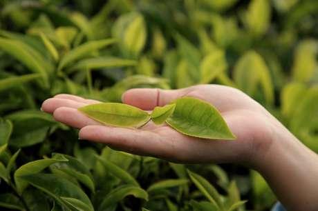 As propriedades da planta australiana são conhecidas há séculos.