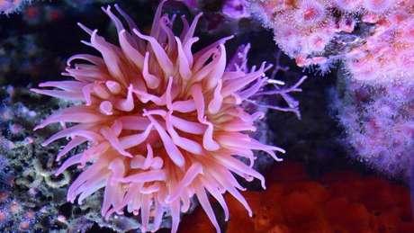 Há mais de 1 mil espécies de anêmonas-do-mar