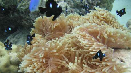 Anêmonas-do-mar têm ancestral comum com os humanos